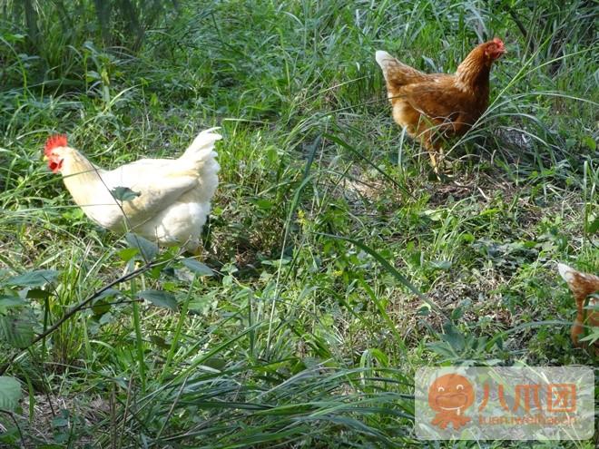 跑山鸡养殖环境